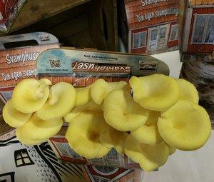 Svamphuset gul ostronskivling